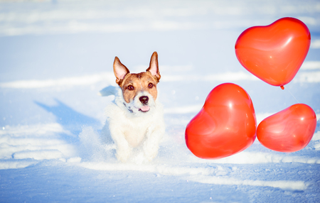 Valentines day concept: happy dog with heart shaped red balloons Stock Photo