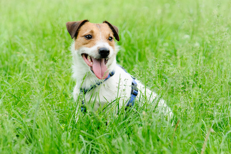 Young happy puppy of Jack Russell Terrier dog sitting in green grass