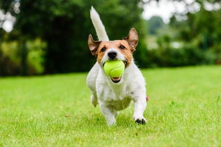 Chien drôle avec une balle de tennis dans les mâchoires jouant à la pelouse Banque d'images
