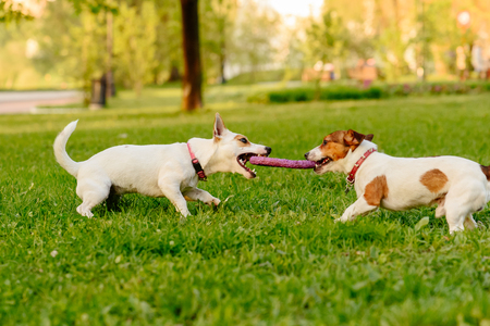 Two dogs playing tug of war game with puller toy