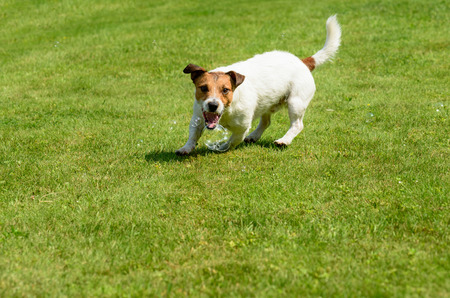Dog catching soap bubbles with mouth on green grass background Stock Photo