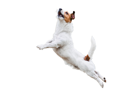 Terrier dog isolated on white jumping and flying high