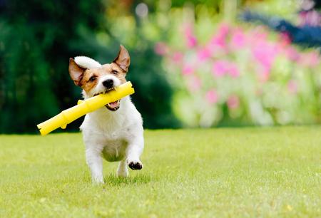 Dog running on summer lawn fetching toy stick Standard-Bild