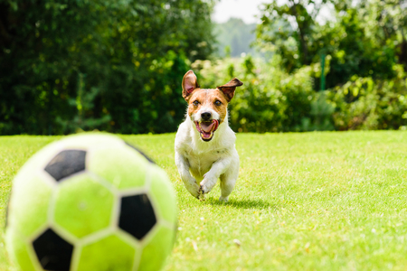 Dog running and focused on ball Stock Photo