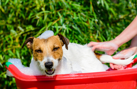 Pet dog washing in bath during grooming care