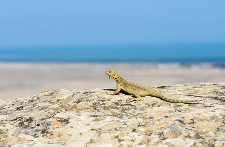 Caucasian agama lizard (Laudakia caucasia) in Qobustan, Azerbaijan