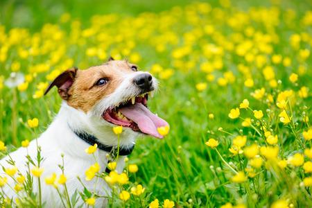 Happy friendly dog sitting among yellow flowers Stock Photo