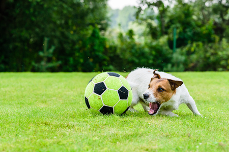 Engaged dog actively playing with football (soccer) ball 版權商用圖片