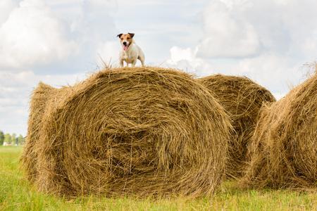 개 수확 깎는 동안 여름 더운 일 건초 더미에