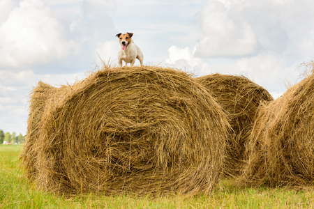 Dog on a haystack at summer hot days during harvest mowing Фото со стока