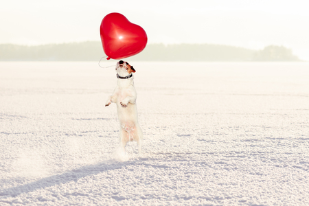 Dog catching red heart shaped balloon as Valentines day gift