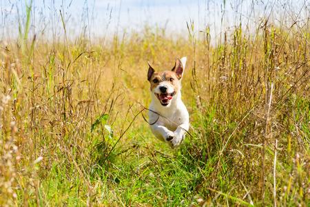 Cute dog running through the grass at autumn (fall) field