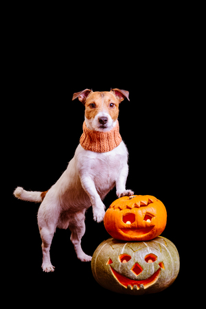 Halloween dog with two pumpkins isolated on black background