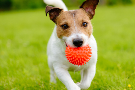 Close up of a dog running and playing fetch with an orange ball toy Foto de archivo