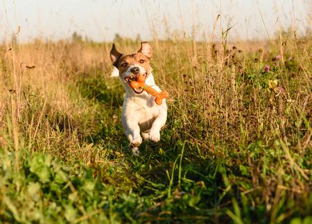 Energetic dog fetching toy bone