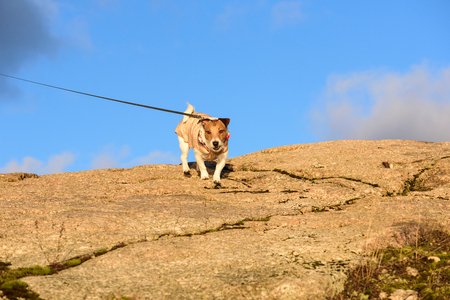 Dog walking on the leash at the mountains at sunny winter day