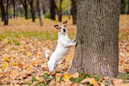 Cute dog walking at autumn park standing on hind paws Stock Photo