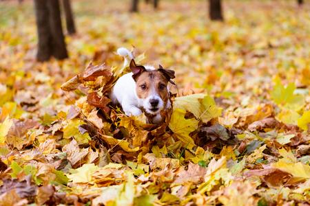Perro, corriente, por, montón, colorido, otoño, arce, hojas Foto de archivo