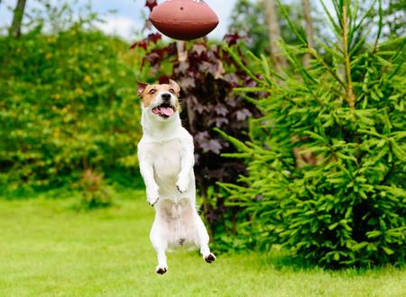 Funny face of a dog playing fantasy american football at a backyard garden Stock Photo