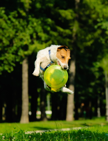 Jack Russell Terrier jumping with flying disk (grouped jump)