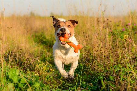 Dog fetching bone running on camera