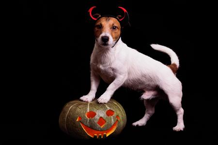 frightful: Cute dog in devils costume standing on Halloween pumpkin
