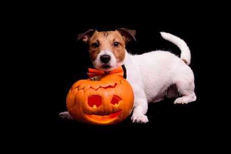Pies z tradycyjnym Halloween rzeźbiącą banią na czarnym tle Zdjęcie Seryjne