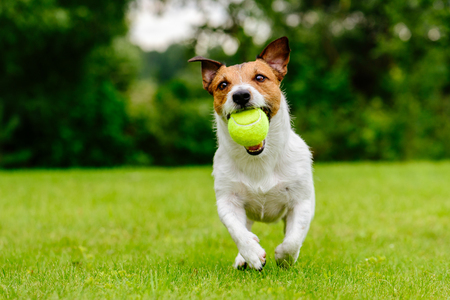Happy pet dog playing with ball on green grass lawn