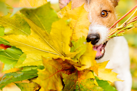 Thanksgiving concept with a dog and an autumn maple leaves Stock Photo