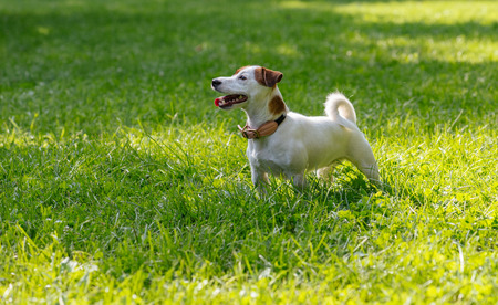 Purebred white and brown Jack Russell Terrier dog standing on green grass