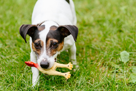 Funny puppy of Jack Russell Terrier playing with toy rubber bird
