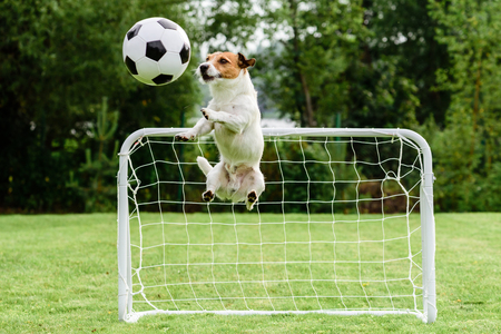 Funny dog ??flying in amusing pose catching football (soccer) ball and saving goal 免版税图像