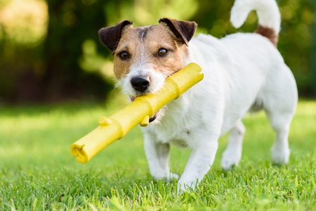 Funny pet dog playing with a yellow stick toy at back yard