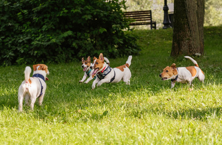 Pack of four Jack Russell Terrier dogs romping and frolicking off leash at park Stock Photo