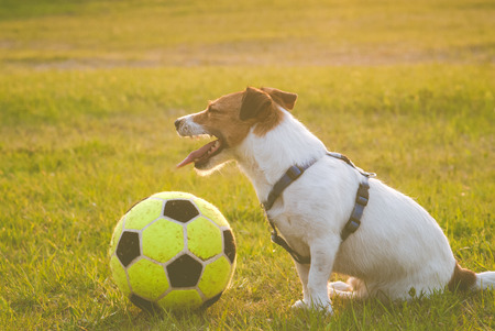 Tired dog with a ball sits at pitch after football match