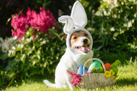 Funny dog ??wearing easter bunny costume and festive basket with multicolored eggs