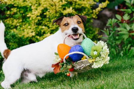 Funny dog ??at egg hunt during Eastertide