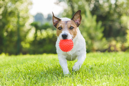 Jack Russell Terrier pet dog running with toy ball at backyard lawn