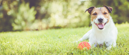 Pet dog lying on grass at sunny summer day (panoramic crop) 스톡 콘텐츠