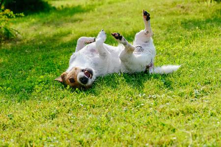 Geïnfecteerde of allergische hond die krabt en jeukt op de grond Stockfoto