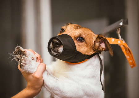 Dog in muzzle constrained by groomer during clipping at salon Stock Photo
