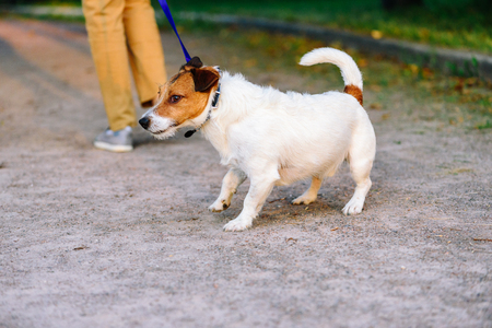Dog lagging behind refuses to walk and drags leash in opposite way Stock Photo