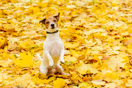 Dog sitting on hind legs in begging pose on yellow carpet of fallen autumn leaves