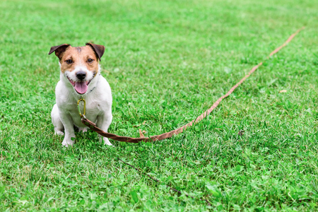 Obedient dog and long-line training leash on green grass background