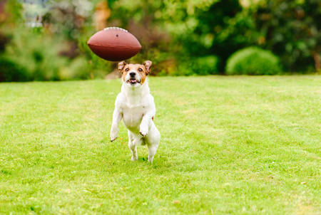 Funny dog playing with american football ball at backyard lawn 스톡 콘텐츠