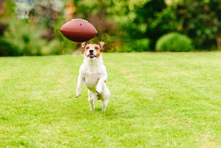 Funny dog playing with american football ball at backyard lawn Stockfoto
