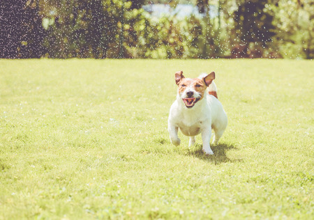 Dog with amusing squinting eyes playing under splashes of garden sprinkles