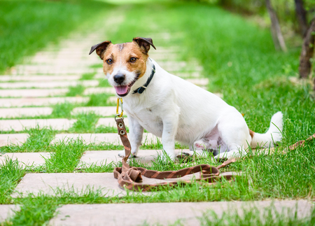 Dog training accessory concept with dog tethered with long line leash rope