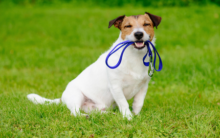 Happy dog outside sitting on green grass lawn with leash in mouth Stok Fotoğraf
