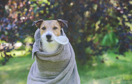 Dog after outdoor shower wrapped into towel holding brush in mouth waiting for grooming